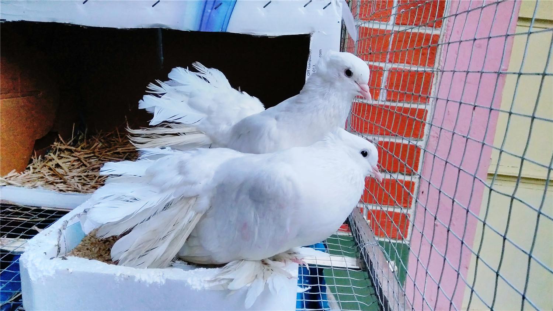 小鸽子几天不需要保温