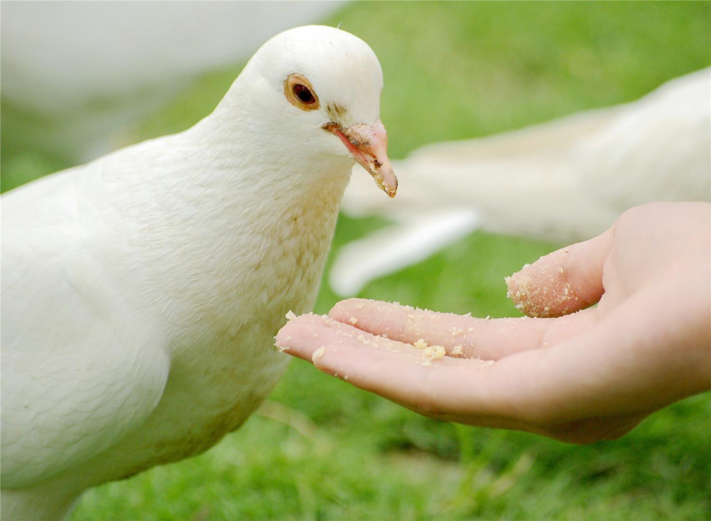 鸽子每月生几个蛋