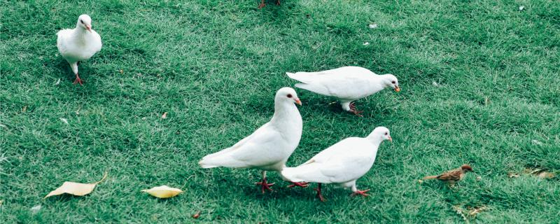 鸽子在家附近飞不回家怎么办