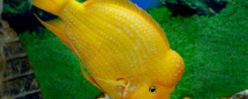鹦鹉鱼能和金鱼混养吗,能和孔雀鱼混养吗