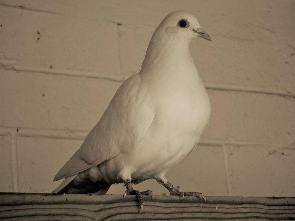散养的鸽子会自己做窝吗