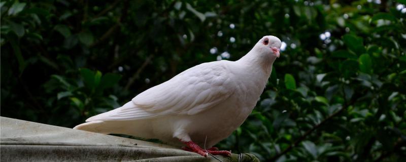鸽子可以吃鸡饲料吗