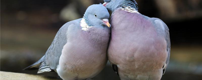 鸽子多久成年
